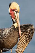 00672-00709 Brown Pelican (Pelecanus occidentalis), La Jolla cliffs, La Jolla, CA