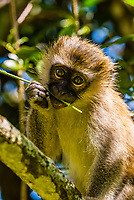 A young Vervet monkey, Entebbe Botanical Gardens, on the shore of Lake Victoria, Entebbe, Uganda.
