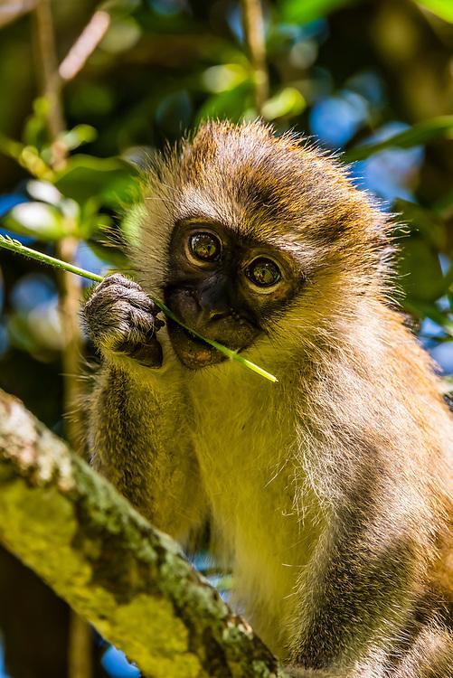 A young Vervet monkey, Entebbe Botanical Gardens, on the shore of Lake Victoria, Entebbe, Uganda.