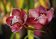 Soft dark pink colors, stripes and spots paint the petals of cymbidium orchid flowers