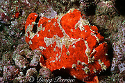 Commerson's frogfish, or giant frogfish, Antennarius commerson, Black Rock, Kaanapali, Maui, Hawaii, U.S.A. ( Central Pacific Ocean )