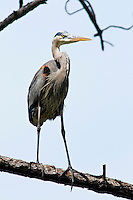 Guana River State Park, Florida -- The Great Blue Heron , Ardea herodias, common over most of North America, is the largest North American heron. Great blue herons nest in trees and primarily eat small fish. It uses its long legs to wade through shallow water, and spears fish or frogs with its long, sharp bill.