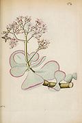hand painted Botanical illustration of flower details leafs and plant from Miscellanea austriaca ad botanicam, chemiam, et historiam naturalem spectantia, cum figuris partim coloratis. Vol. II  by Nicolai Josephi Jacquin Published 1781. Figure 19