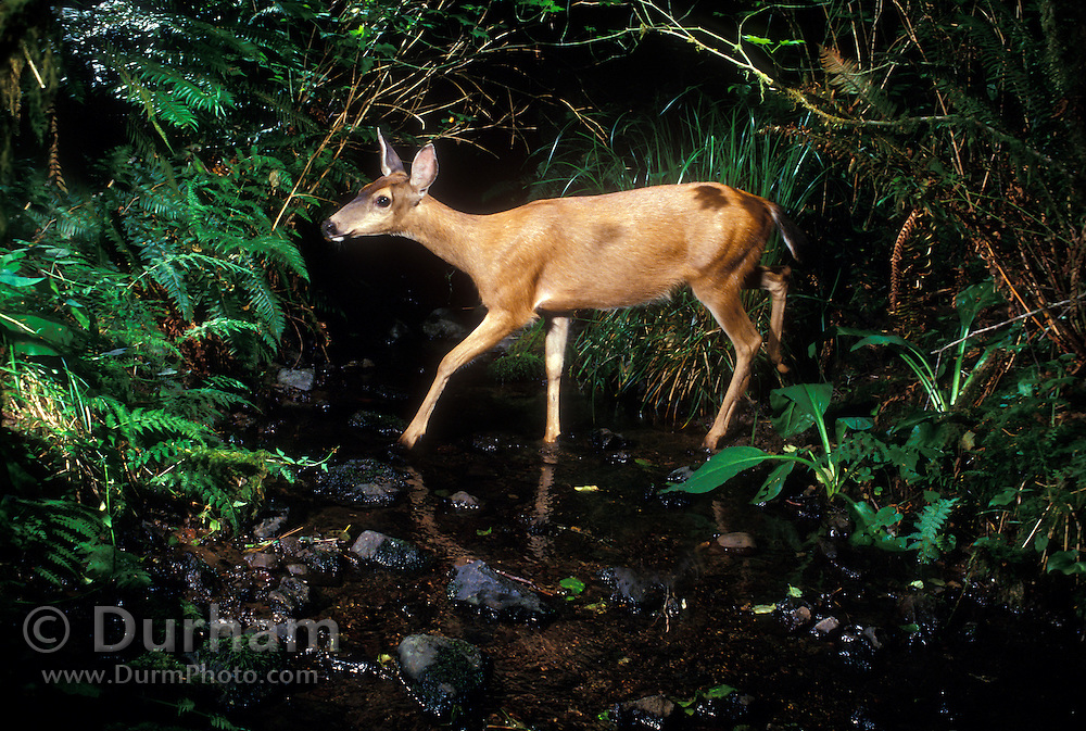 A mule deer (Odocoileus hemionus) crossing a stream at night. This deer was photographed on decommissioned U.S. Army Camp Bonneville. Nearly a century of live fire excercises have left parts of the camp littered with unexploded ordinance. The area is closed and animals have moved into the habitat.