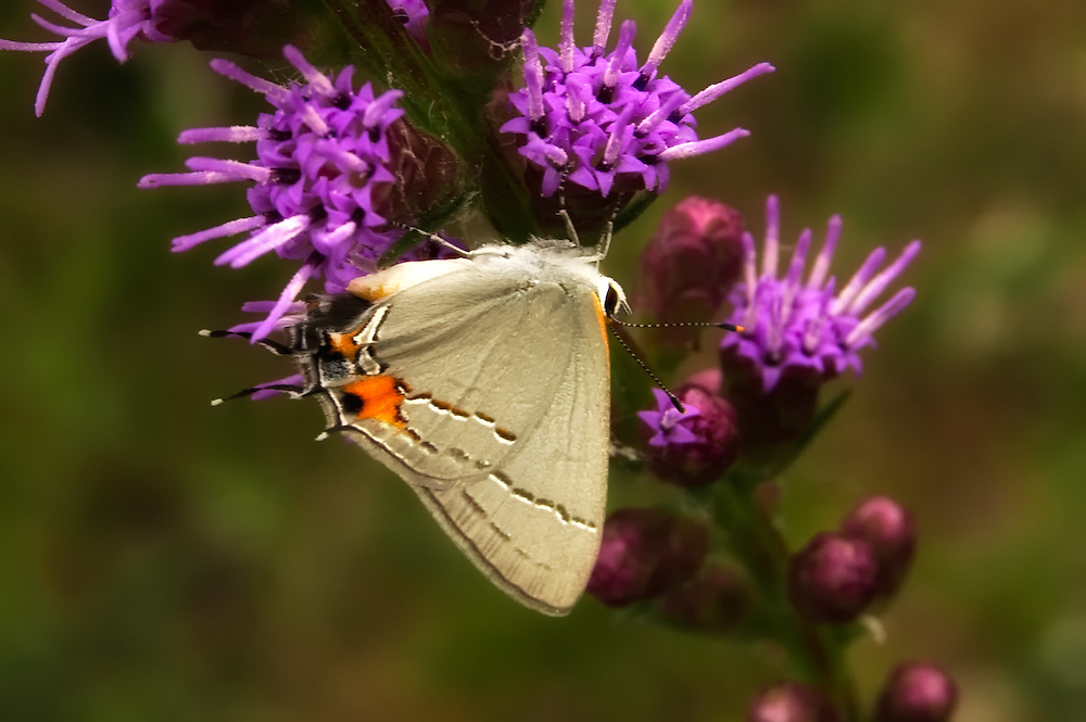 A gray hairstreak  pauses on an unidentified species of liatris in the Fakahatchee Strand in Collier County, Florida.