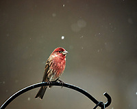 Male House Finch on a snowy day. Image taken with a Nikon D5 camera and 600 mm f/4 VRII lens (ISO 1600, 600 mm, f/4, 1/640 sec).