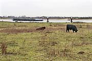 Nederland, Millingen, 6-2-2019Wilde runderen, galloways, grazen langs de Rijn in de Millingerwaard .. Natuurbegrazing door het uitzetten van Galloway runderen. De grazers lopen op de oever en houden de begroeing laag en divers. Ze zijn uitgezet en beheerd door de stichting Ark en staatsbosbeheer.Foto: Flip Franssen