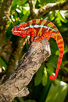 Brilliantly colored chameleon oranges and reds against green leaves. Magical Madagascar. Wildlife fine art photography wall art