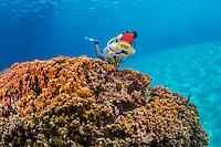 Guam Piti Marine Preserve, Aug 2015<br /> Barracuda, reef fish, healthy corals, Guam, USA,<br /> Western Pacific
