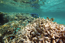 Damsel fish swim over staghorn coral in Clerk Lagoon at the Rowley Shoals.