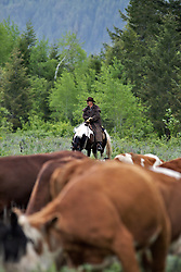Nelson Cattle Drive, Alpine Wyoming. June is the time many ranchers move their cattle to the mountains so they can grow hay on their property so the cows will have something to eat when they come out of the mountains for the winter...My photos are not to be used for anti public land ranching interests. The cowboys of the west are under assault because many don't like to see their cows on public land. I have written a couple of articles articulating the problem.