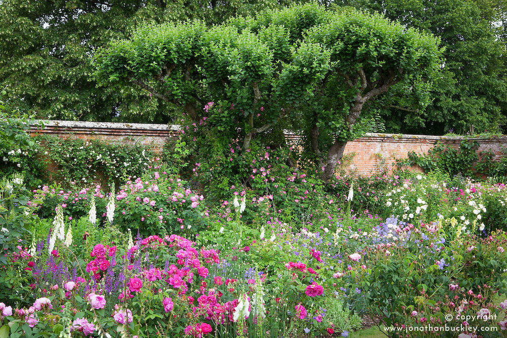 Old roses in the rose garden at Mottisfont with foxgloves and geraniums. Rosa gallica var. officinalis (apothecary's rose) and Rosa gallica 'Versicolor' syn. Rosa Mundi in the borders. Rosa 'Complicata' trained to grow into a tree