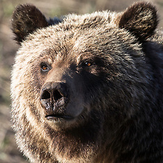 More Grizzly Bears