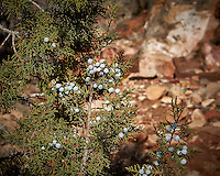 Juniper berries at Kelly Place near Cortez, Colorado. Image taken with a Nikon D3 camera and 70-200 mm f/2.8 VR lens (ISO 200, 70 mm, f/11, 1/800 sec).