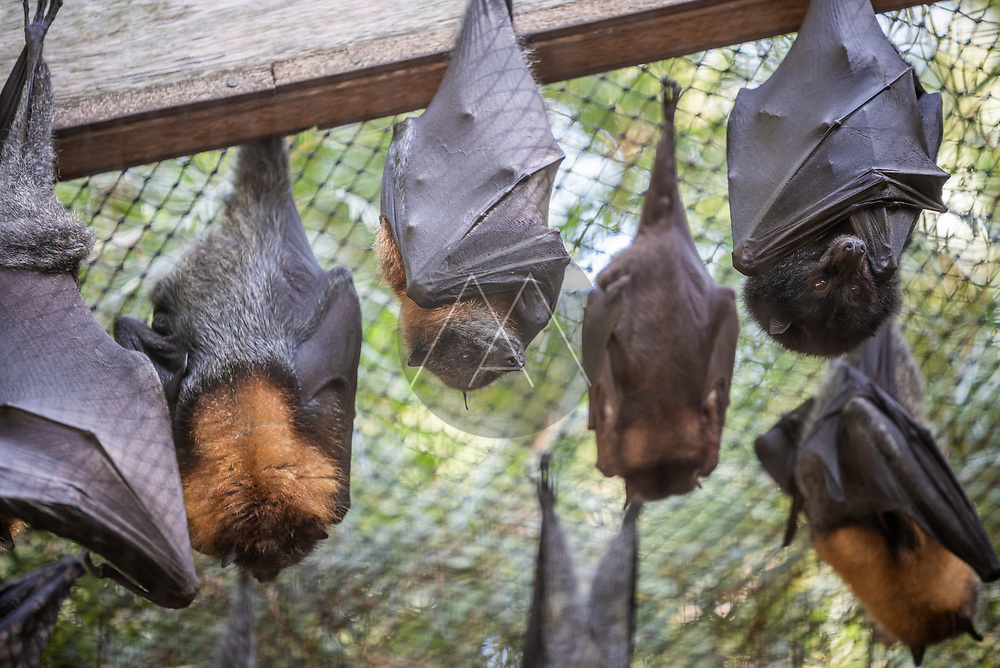 View of bats sleeping in a zoological park in Brisbane, Australia.