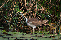 The pheasant-tailed jacana (Hydrophasianus chirurgus) is a jacana in the monotypic genus Hydrophasianus. Like all other jacanas they have elongated toes and nails that enable them to walk on floating vegetation in shallow lakes, their preferred habitat. They may also swim or wade in water reaching their body while foraging mainly for invertebrate prey. Seen here in its non-breeding plumage.