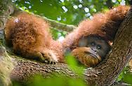 A solemn portrait of a large male Sumatran perched on an upper tree limb, Gunung Leuser National Park.
