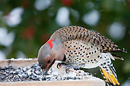 01193-016.13 Northern Flicker (Colaptes auratus) male on sunflower tray feeder in winter, Marion Co., IL