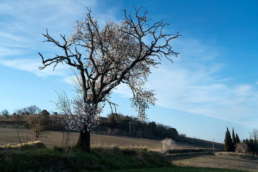 Cherry blossoming tree with bare agricultural fields in the south of France Languadoc Aude region