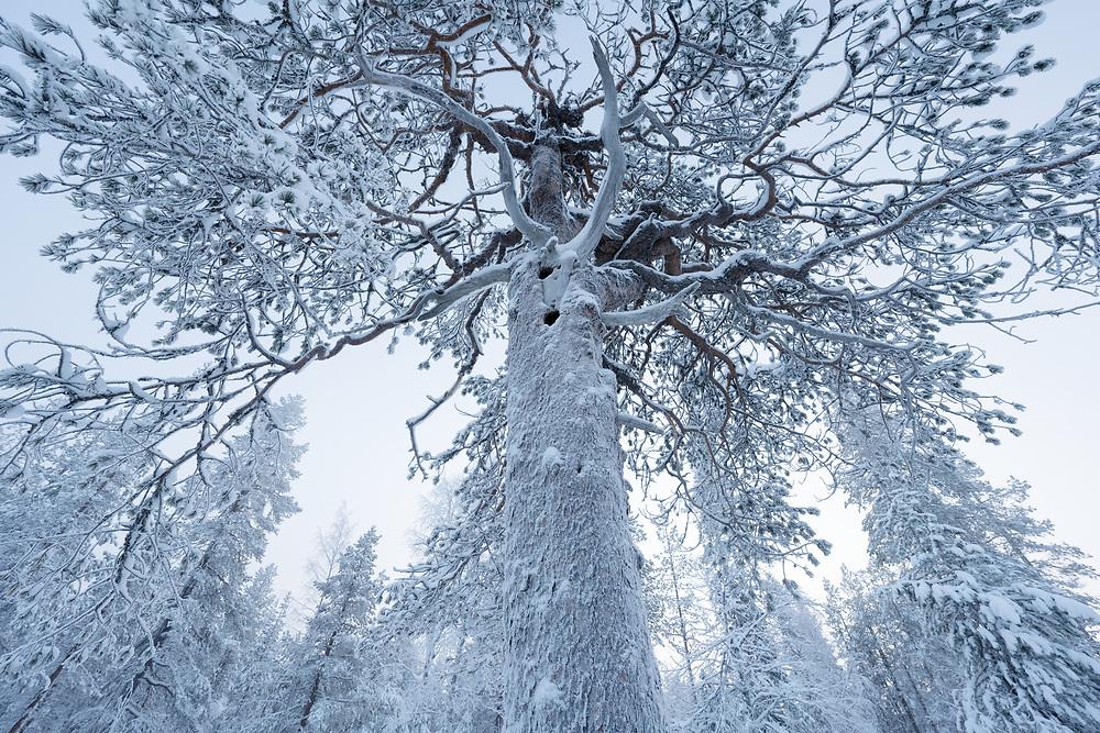 350 year old Scots pine, Pinus silvestris, in -30C Muonionalusta, Norrbotten, Sápmi, Lapland, Sweden
