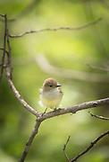 Warbala Finch, Isabella Island, Galapagos, Ecuador, South America