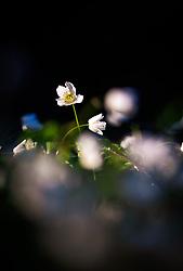 THEMENBILD - Buschwindröschen bei Sonnenuntergang auf einer Wiese im Wald, aufgenommen am 18. April 2018 in Kaprun, Österreich // Wood anemone at sunset on a meadow in the forest, Kaprun, Austria on 2018/04/18. EXPA Pictures © 2018, PhotoCredit: EXPA/ JFK