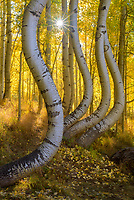 Curvey aspen trunks during peak fall color near Telluride, Colorado, USA
