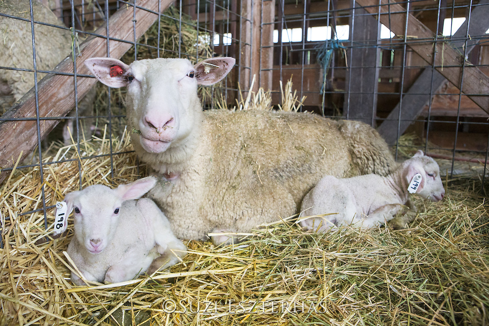 Domestic Sheep <br /> Ovis aries<br /> Ewe and newborn lambs inside barn<br /> Sonoma County, California