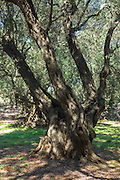 Olives growing on old gnarled tree Olea europaea in olive grove for olive oil production in sub-tropical climate, Corfu, Greece