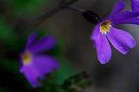 Russia, Caucasus. Mount Cheget. Plant, colours and forms. Primula sp.