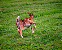 Fawn with spots running away. Image taken with a Fuji X-T3 camera and 200 mm f/2 OIS lens + 1.4x teleconverter