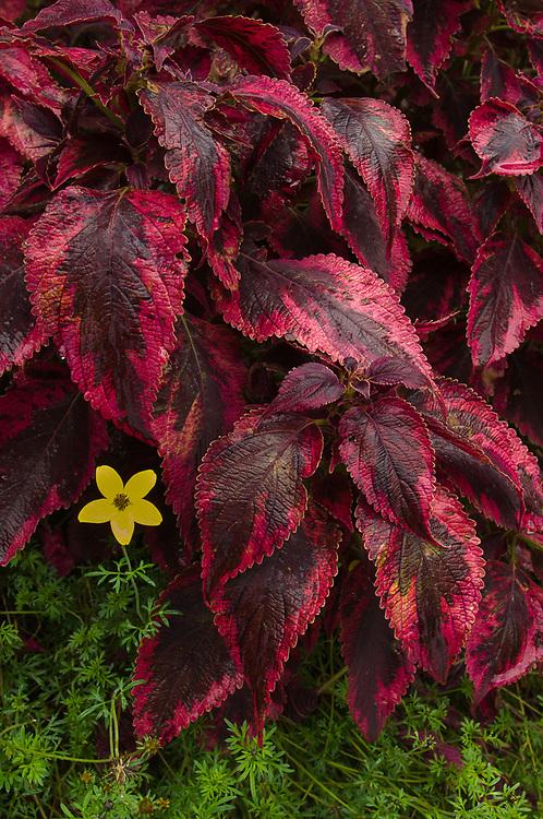 Hydrangea leaves and composite flower, Newhalem, Washington, USA