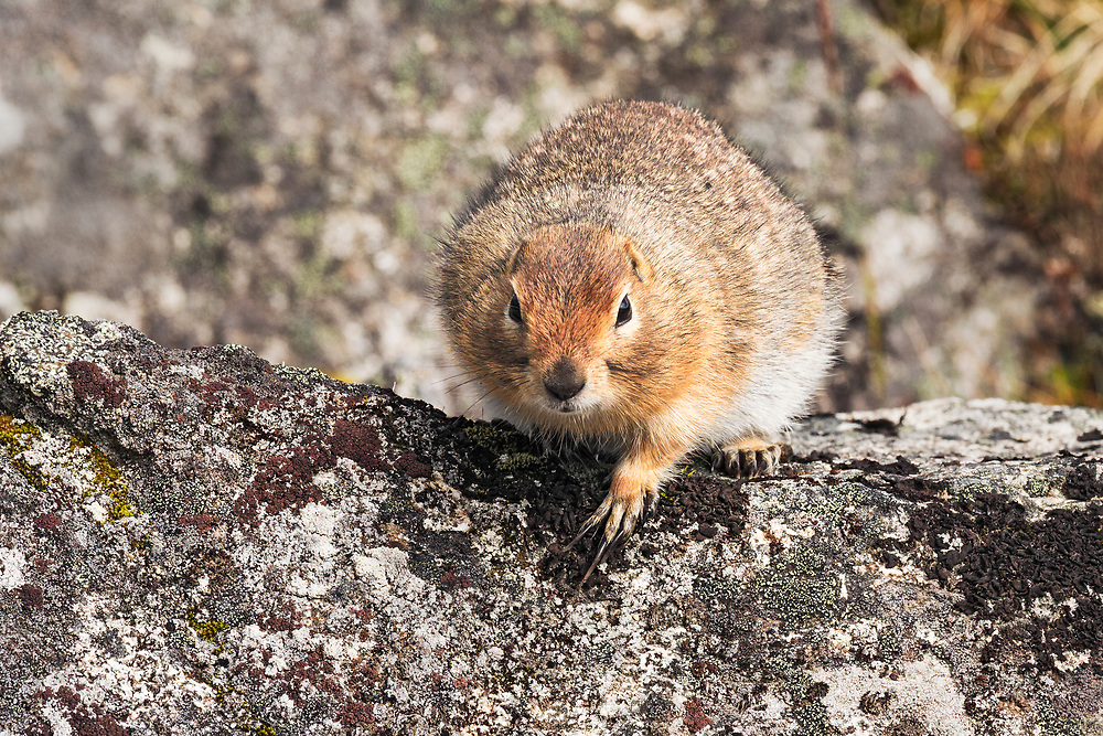 Alaska.  Close-up of an Arctic Ground Squirrel (Spermophilus parryii) with very long front claws pausing on the top of a granite boulder in a Hatcher Pass rock slide in August.