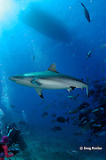 gray reef shark, Carcharhinus amblyrhynchos, and divers <br /> at Big Fish Encounter, Shark Reef Marine Reserve, Beqa Passage, Viti Levu, Fiji,  ( South Pacific Ocean ) Valerie Taylor at lower left, MR 331