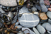 """A """"plaid"""" beach stone lies with other striped and speckled rocks, tumbled with seaweed on the New Brunswick coast."""