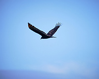 Turkey Vulture soaring. Image taken with a Fuji X-H1 camera and 200 mm f/2 lens + 1.4x teleconverter (ISO 200, 280 mm, f/2.8, 1/550 sec)