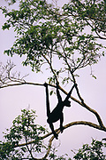 White-bellied Spider Monkey at Clay lick<br />Ateles belzebuth<br />Manu Wildlife Center. Amazon Rain Forest.  PERU <br />South America<br />EATING CLAY