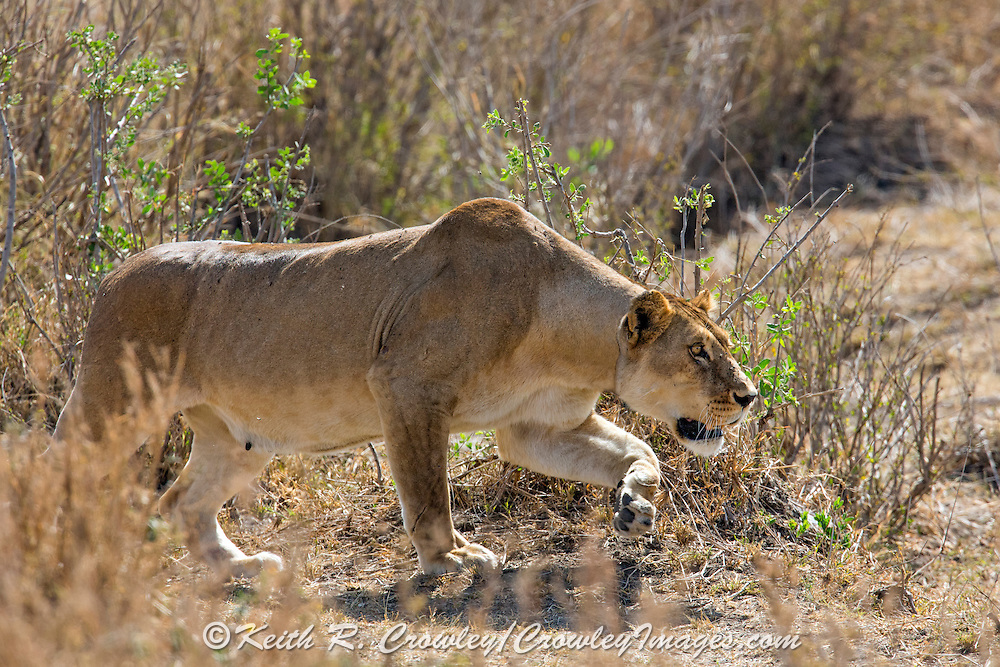Lioness wearing a telemetry collar stalks prey in East Africa