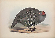 Numida rendalli (Helmeted Guineafowl) from Zoologia typica; or, Figures of new and rare animals and birds described in the proceedings, or exhibited in the collections of the Zoological Society of London. By Fraser, Louis. Zoological Society of London. Published London, March 1847