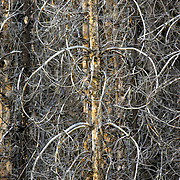Burned trees are displayed in an abstract composition of line in Grand Teton National Park.