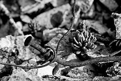 Alessano (LE) - LA campagna di Alessano presenta le caratteristiche tipiche della campagna Salentina: alberi di ulivo, muretti a secco. Particolare di coesistenza tra vegetazione spontanea e interventi dell'uomo.