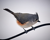 Tufted Titmouse on a wire. Image taken with a Nikon D5 camera and 600 mm f/4 VR lens (ISO 250, 600 mm, f/4, 1/640 sec).