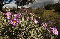 Pink Rock Rose  (Cistus crispus).Sierra de Andújar Natural Park, Mediterranean woodland of Sierra Morena, north east Jaén Province, Andalusia. SPAIN..Mission: Iberian Lynx, May 2009