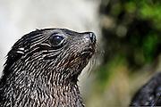 portrait of a juvenile fur seal pup photographed at the Abel Tasman National Park, South Island, New Zealand