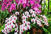 Orchids at the National Orchid Garden, Singapore Botanic Gardens, Singapore, Republic of Singapore