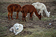 Great Pyrenees dogs working to protect alpacas on a farm