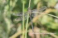 06357-00108 Shadow Darner (Aeshna umbrosa) male (Marion Co. IL