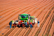 Semi-automatic seedling planting in an agricultural field. The young shoots are planted using an automatic planter driven by a tracked tractor. Migrant workers, walking behind, feed the automated machine with young plants. The machine than inserts the plants into the soil.