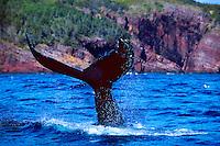 Humpback whale diving, Witless Bay, Avalon Peninsula, Newfoundland, Canada