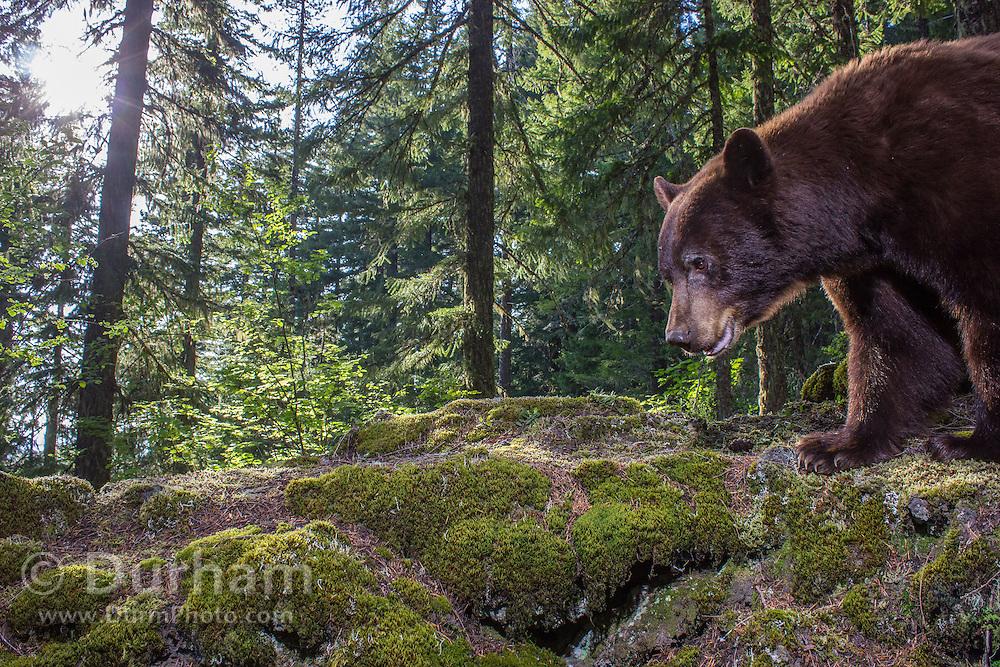 A black bear (Ursus americanus) in the Gifford-Pinchot National Forest, Washington.